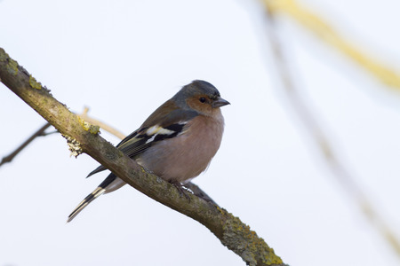 A common chaffinch is searching for fodder