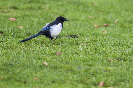 An eurasian magpie is searching for fodder