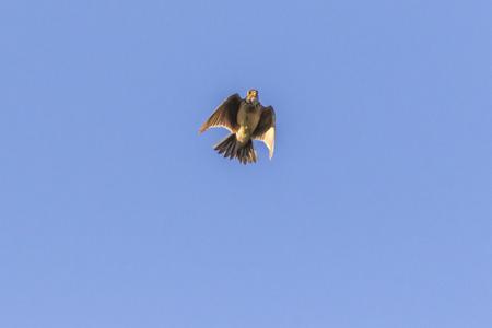 A common skylark in flight