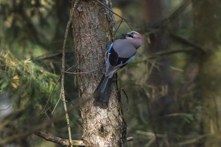 An eurasian jay on a branch