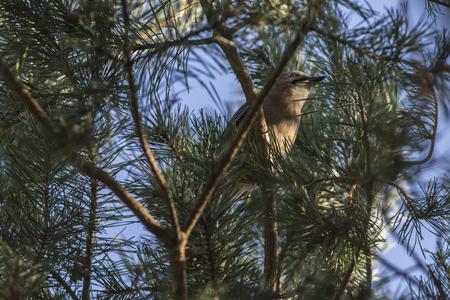 An eurasian jay on a branch