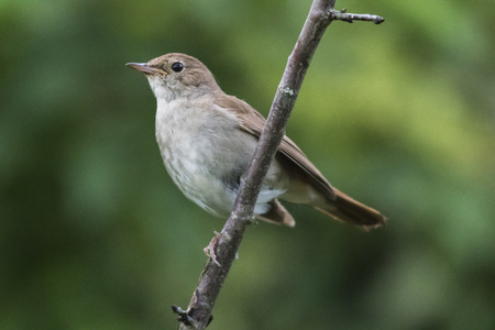 A garden warbler is sitting on a branch