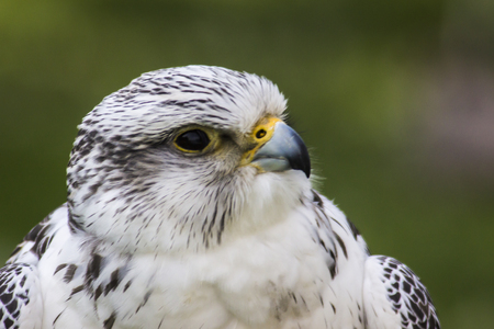 A gyrfalcon in Wildpark Potzberg near Kusel in Germany Stock Photo