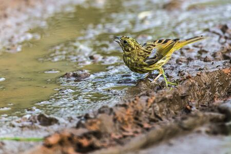 A yellowhammer is searching for fodder