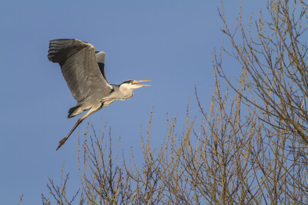 A grey heron is searching for fodder in Beeder Bruch Stock Photo