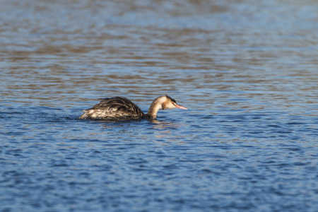 A great crested grebe on a sea near Dillingen