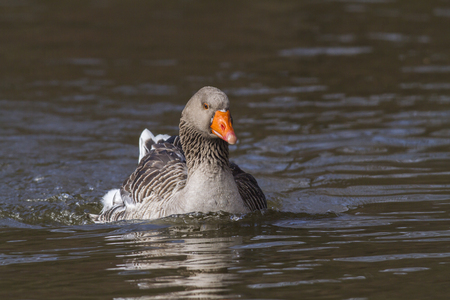 Domestic goose on the river Blies near Homburg Stock Photo