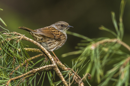 A dunnock is sitting on a branch Stock Photo
