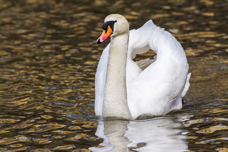 A mute swan on the riverside of the saar