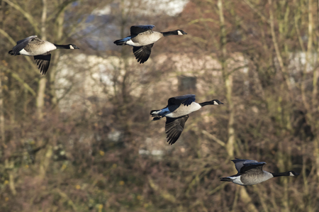 Canada geese in the Biotop of Beeden near Homburg