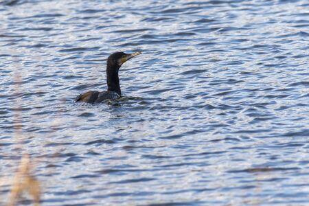 A cormorant on a sea near Dillingen in germany