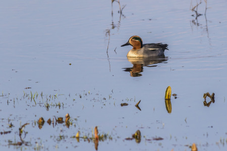 A male common teal floats on a pond near Dillingen in Saarland Archivio Fotografico