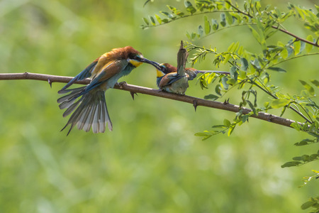 Eurasian bee-eater in a sandpit near gerolsheim in palatia Stock Photo