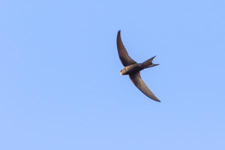 Un martinet commun dans le vol au dessus de Homburg Banque d'images - 105751884