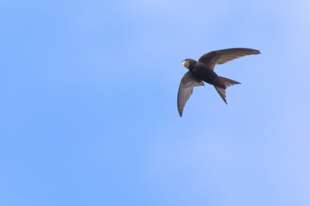 A common swift in the flight over homburg