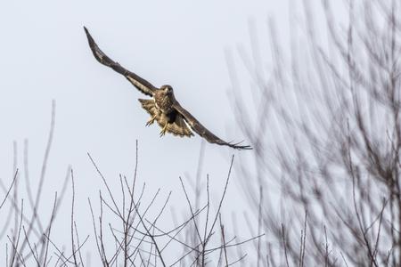 A common buzzard in flight over homburg in saarland