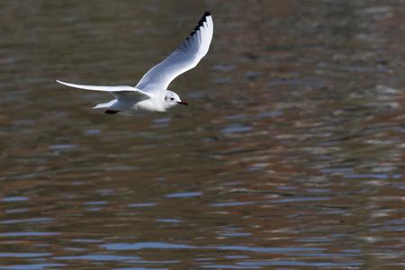 Mire crow on the river saar near saarbruecken in germany