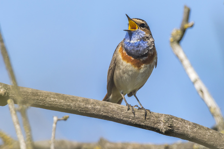 A white-spotted bluethroat is sitting on a branch