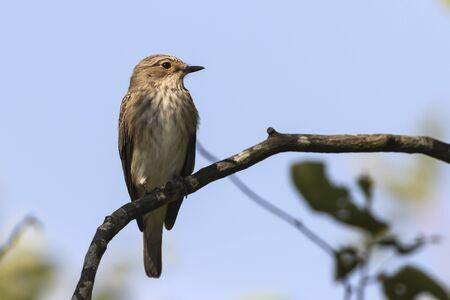 A resting spotted flycatcher Standard-Bild