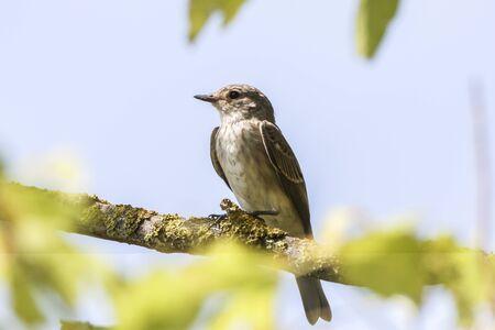 A resting spotted flycatcher Stok Fotoğraf