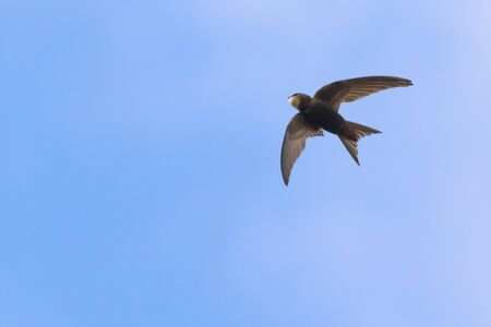 A flying common swift under blue sky Stockfoto