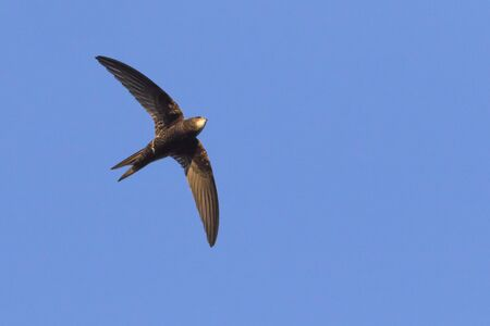 A flying common swift under blue sky Banque d'images
