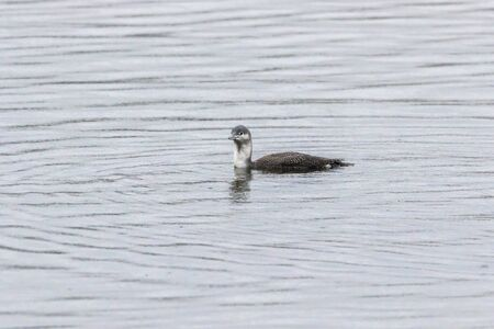 A red-throated loon on the Bostalsee in germany