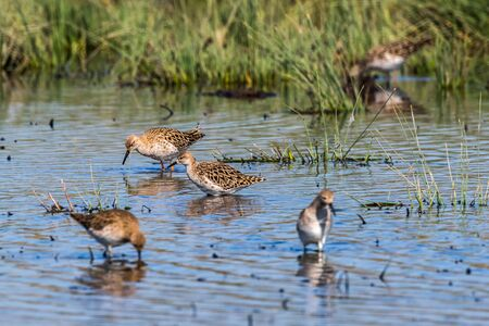 A ruff in the water is searching for fodder Imagens