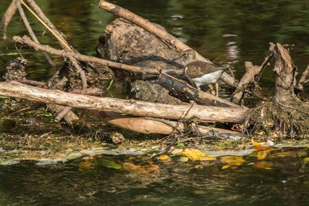 A sandpiper is searching for fodder Imagens