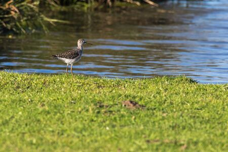 A wood sandpiper in Beeder Biotop is searching for fodder