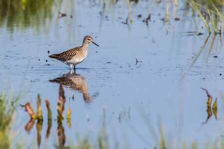 A wood sandpiper is searching for fodder
