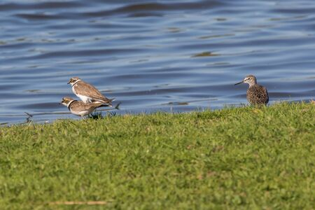 Little ringed plovers by copulation