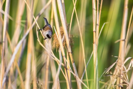 An Eurasian Penduline Tit ist sitting on a grass-stock Stockfoto