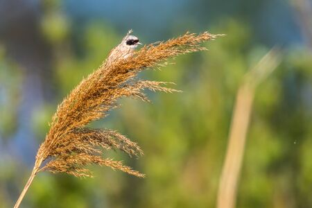 An Eurasian Penduline Tit ist sitting on a grass-stock Stock fotó