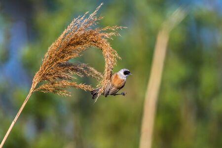 An Eurasian Penduline Tit ist sitting on a grass-stock