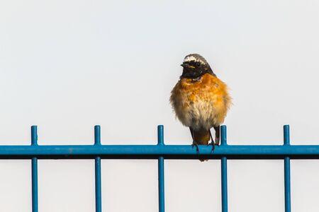 A common redstart is sittin on his observation point Stockfoto