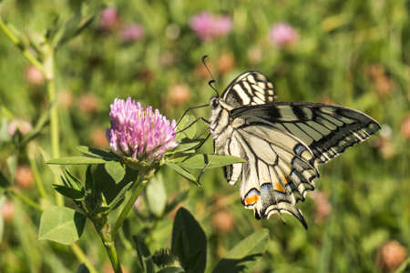 A swallowtail moth on a flower Stock Photo