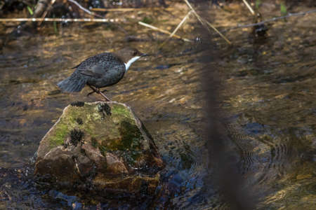 A White-throated Dipper at Traunbach near Boerfink in Germany.