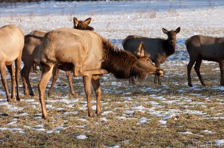 Elk Scratching The Big Itch Stock Photo