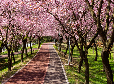 pathway: Rows of beautifully blossoming cherry trees on a river pathway Stock Photo