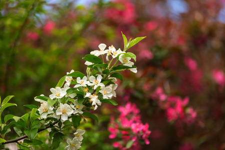 crab apple tree: A blooming branch of apple tree in spring