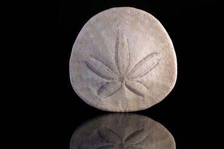 sand dollar: D�lar de arena con la reflexi�n y el fondo negro Foto de archivo
