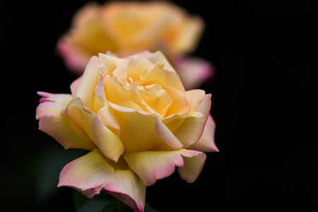 gulab: Close up of yellow roses on black background