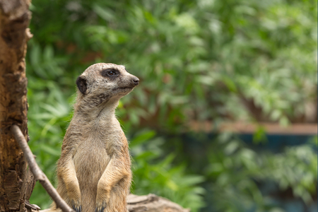 adapted: Meerkat or suricate securing the area where they are living