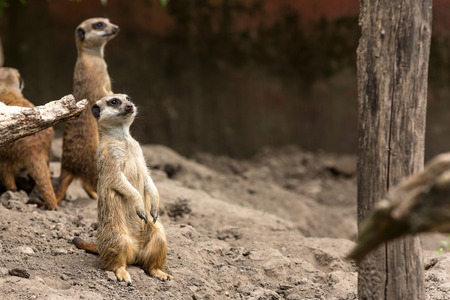 suricata: Meerkat or suricata securing the area where they are living Stock Photo
