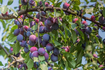 ciruela: Árbol de ciruelo con frutas jugosas en la luz del atardecer Foto de archivo