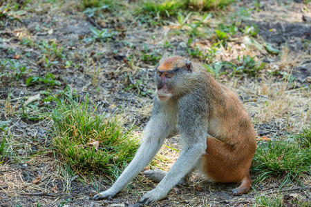 vibration: Monkey touching the ground and feeling the Earth vibration