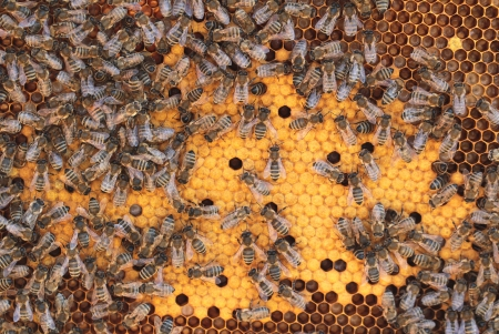 hive: Bees  on honeycomb