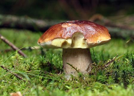 Boletus mushroom photo