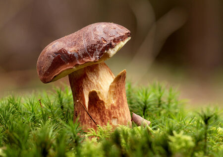 bolete: Bolete in moss in forest